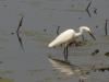 An egret!