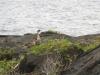 Hawaiian bird - the Nene, family with baby