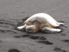 More sea turtles!