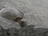 Sea turtle floating