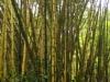Bamboo at Akaka falls
