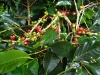 Coffee plant with seeds